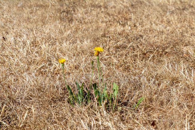 pelouse naturelle grillée par le soleil